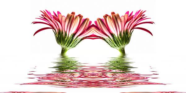 Double Pink Gerbera Flood Print by Steve Purnell