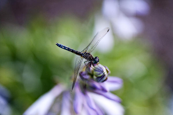 Dragonfly Print by Christopher McPhail