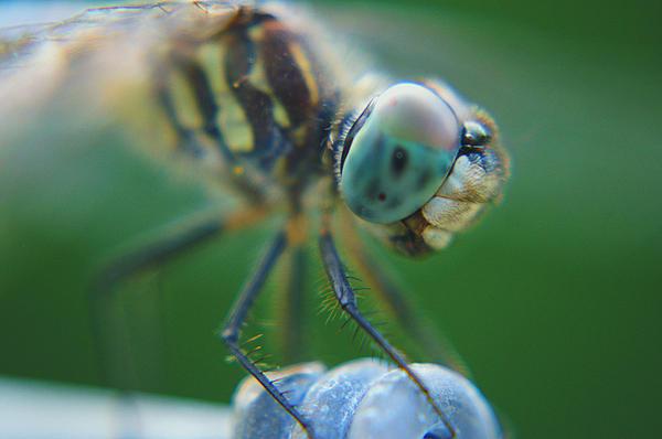 Joshua Ward - Dragonfly Close Up