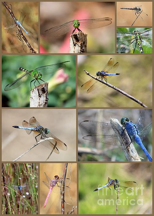 Dragonfly Collage 3 Print by Carol Groenen