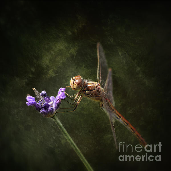 HJBH Photography - Dragonfly on lavender