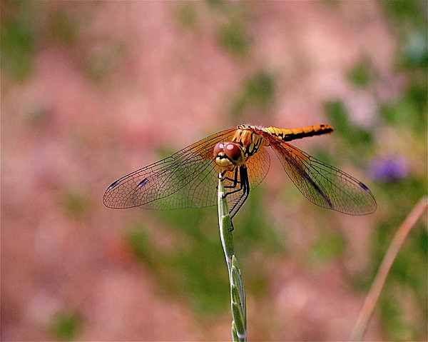 Dragonfly Print by Rona Black
