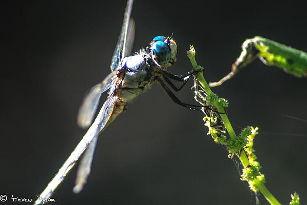 Dragonfly Taking A Rest Print by Steven  Taylor