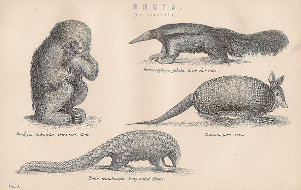 Drawings Of Unusual Animals Print by Anon