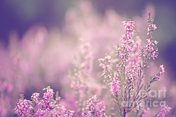 Dreamy Pink Heather Print by Natalie Kinnear