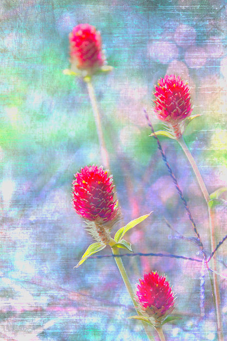 Dreamy Red Spiky Flowers Print by Karen Stephenson