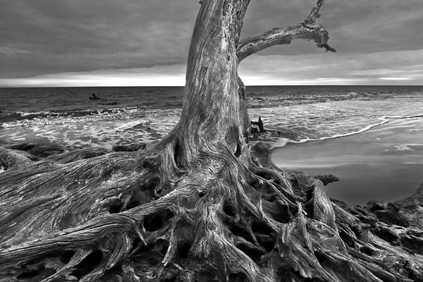 Driftwood On Jekyll Island Black And White Print by Debra and Dave Vanderlaan