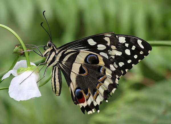 Drinks With A Giant  Swallowtail Print by Ruth Jolly