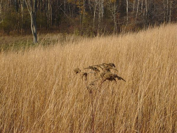 Dry Grass Print by David Fiske