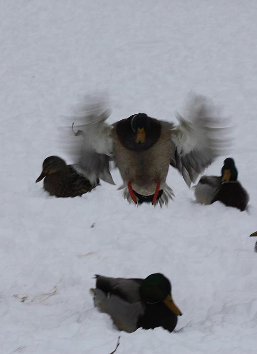 John Telfer - Duck Crash Landing