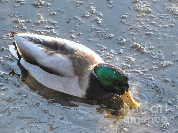 Yury Bashkin - Duck In A Pond Winter
