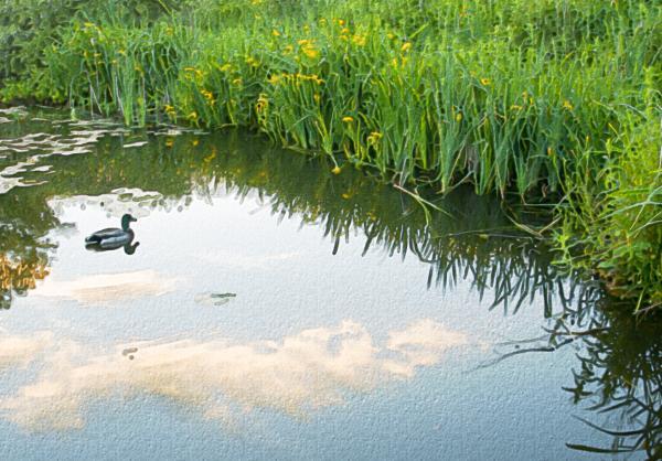 Duck On A Lake Print by Svetlana Sewell