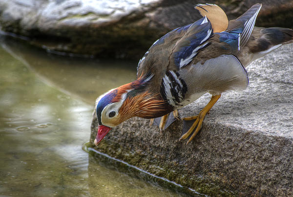 Duck On The Edge Print by Agrofilms Photography
