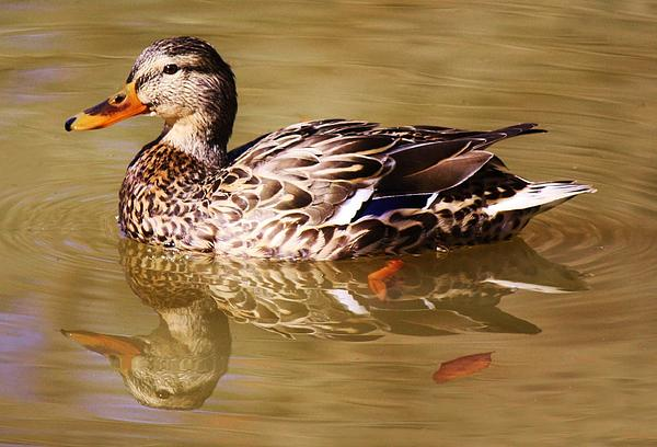 Duck Reflection Print by Paulette Thomas