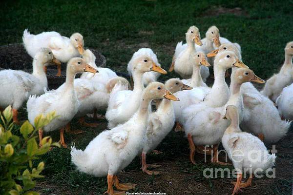 Ducklings In Clay Center Kansas Print by PainterArtist FIN