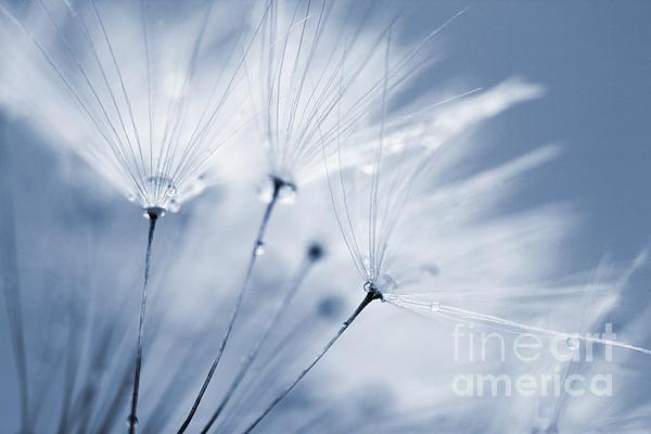 Dusty Blue Dandelion Clock And Water Droplets Print by Natalie Kinnear