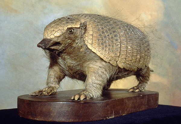 an overview of the armadillo in the animal kingdom The average armadillo measures around 75cm in length, including the tail but the giant armadillo can grow to more than 15m long and the miniature pink fairy armadillo (the smallest armadillo species) only gets to around 10cm in length.