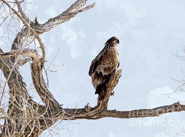Eagle Eye Print by Lori Tordsen