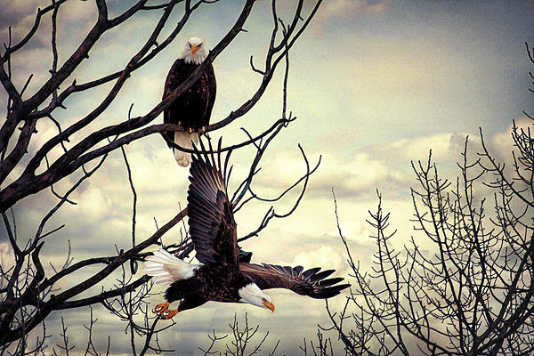 Eagle Watching Eagle Print by Gary Smith