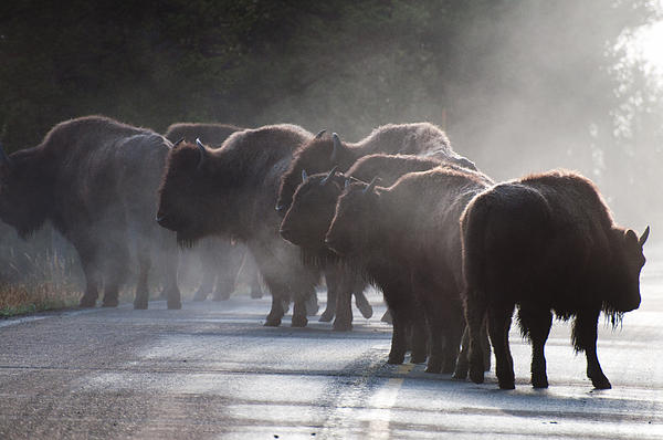 Early Morning Road Bison Print by Bruce Gourley