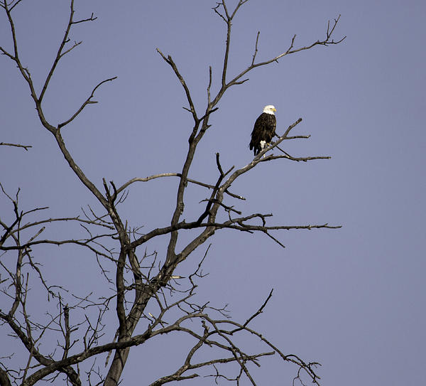 East Side Eagle 2 Print by Thomas Young