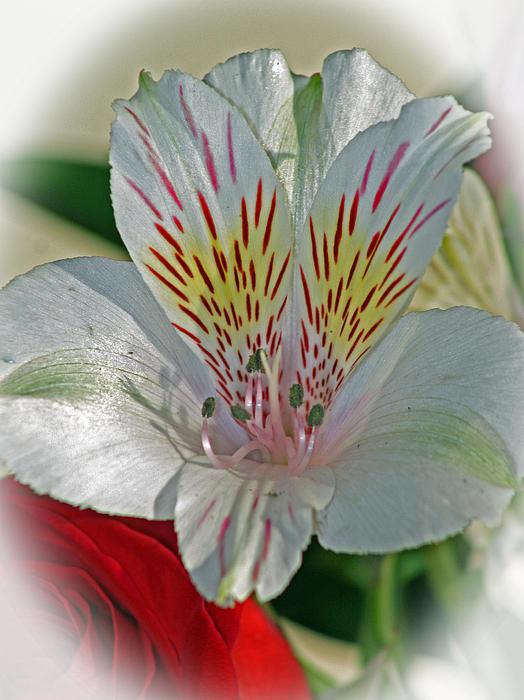Easter Lily Print by Karen Adams