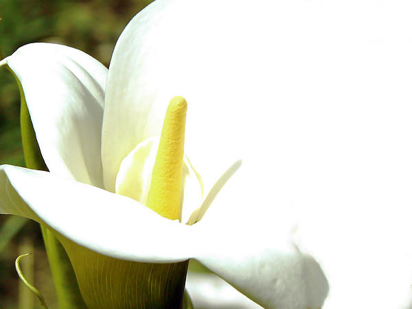 Easter Lily Print by Pamela Patch