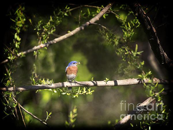 Eastern Blue Bird At Sunrise Print by Cris Hayes