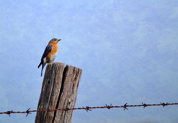 Deena Stoddard - Eastern Bluebird