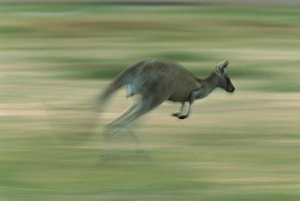 Eastern Grey Kangaroo Female Hopping Print by Ingo Arndt
