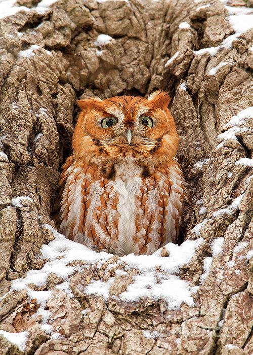 Eastern Screech Owl Print by Joshua Clark