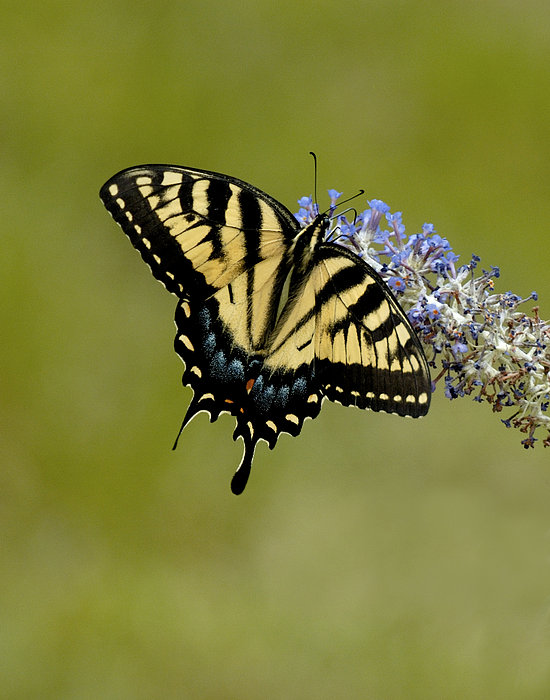 Eastern Tiger Swallowtail On Butterfly Bush Print by Lara Ellis