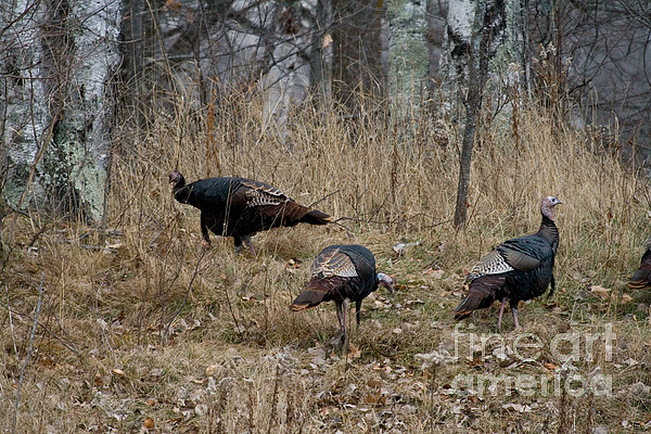 Eastern Wild Turkeys Print by Linda Freshwaters Arndt
