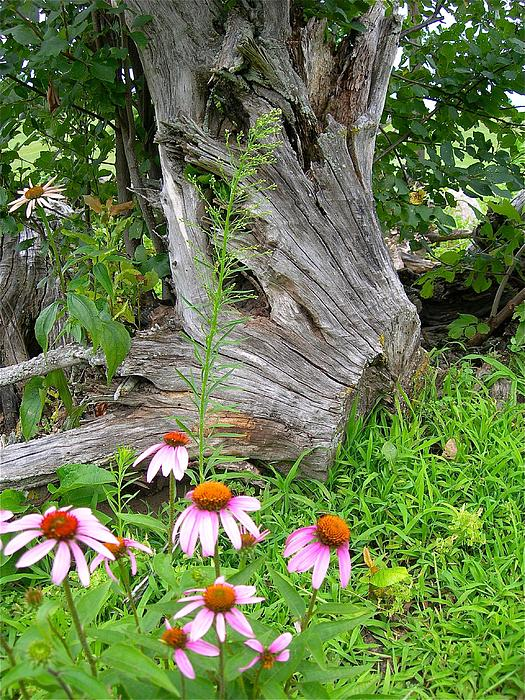Randy Rosenberger - Echinacea Stumpage
