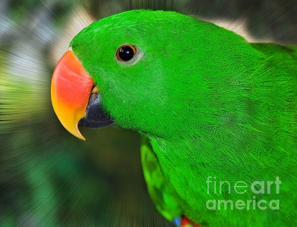 Elaine Manley - Eclectus Parrot