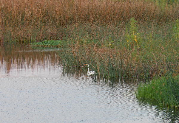 Kay Gilley - Egret in the Wetlands