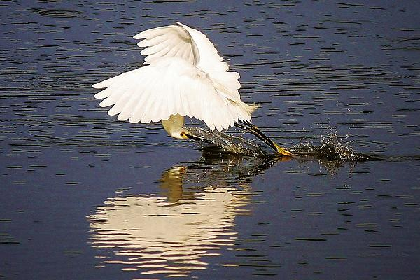 Egret With A Heart Reflection Print by Paulette Thomas