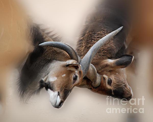 Eland Antelope Heads Print by TN Fairey