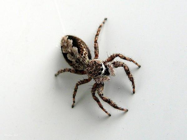 Elegant Jumping Spider Print by Christina Rollo