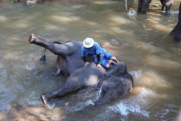 Elephant Baths - Maesa Elephant Camp - Chiang Mai Thailand - 011310 Print by DC Photographer