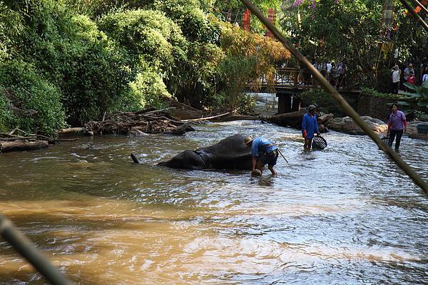Elephant Baths - Maesa Elephant Camp - Chiang Mai Thailand - 011320 Print by DC Photographer
