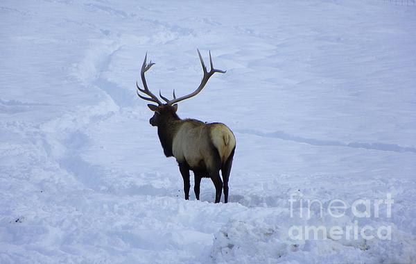 J J - Elk Winter Photography