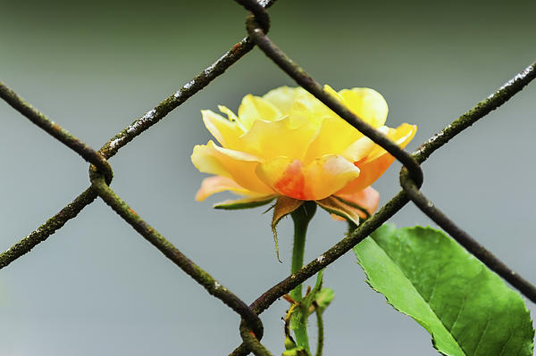 Dee Browning - A Yellow Rose Behind Chain link