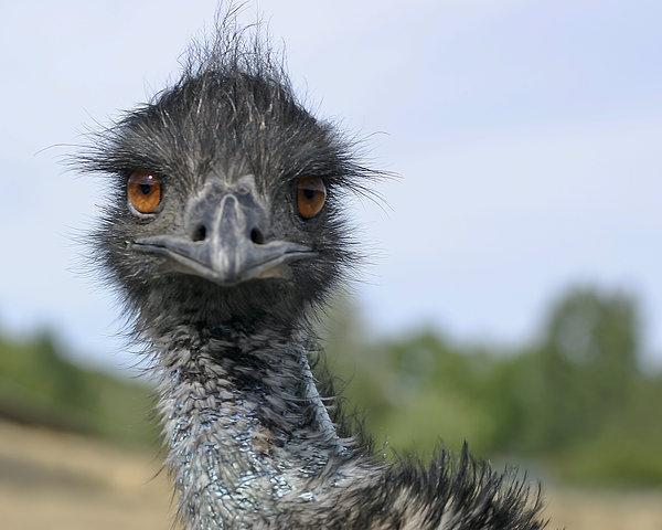Emu Gaze Print by Belinda Greb