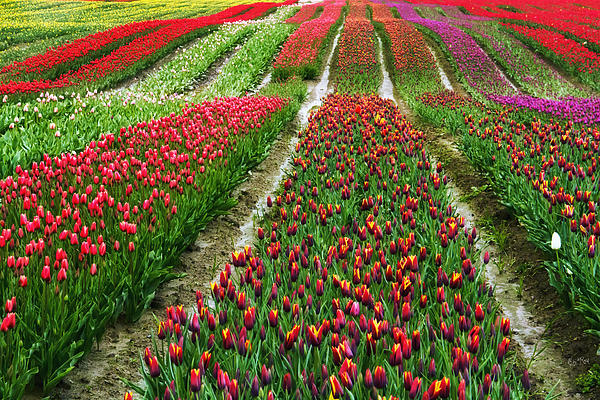 Eti Reid - Endless waves of tulips
