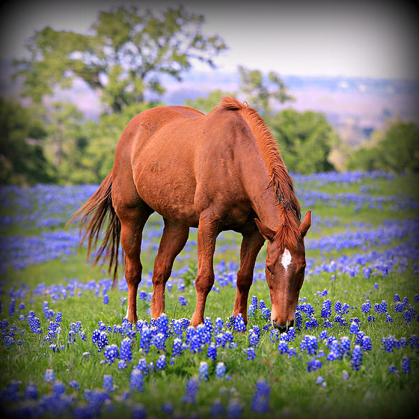 Equine Bluebonnets Print by Stephen Stookey