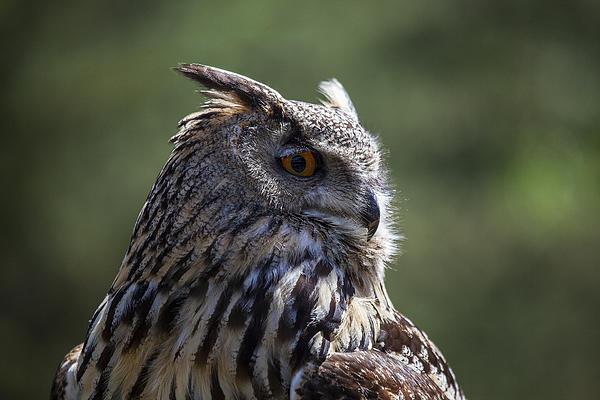 Eurasian Eagle-owl Print by Garry Gay