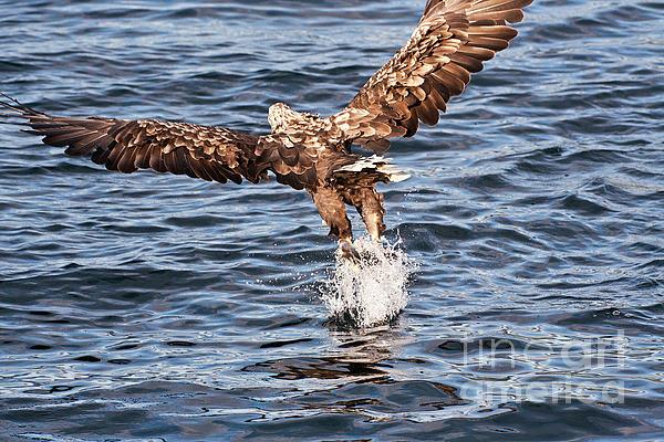 European Fishing Sea Eagle 2 Print by Heiko Koehrer-Wagner