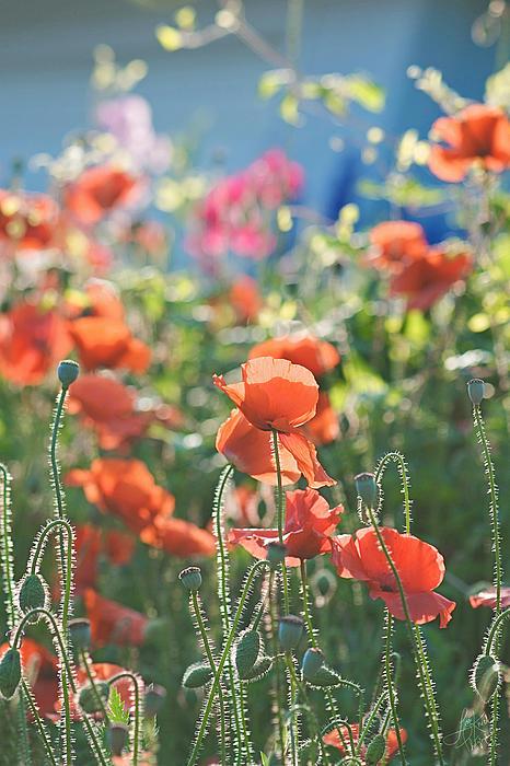 Evening Lights The Poppies Print by Lisa Knechtel