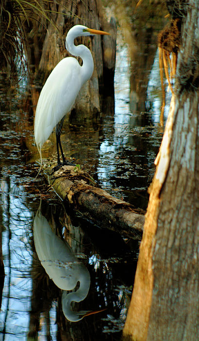 Everglades Egret Print by Daniel Woodrum